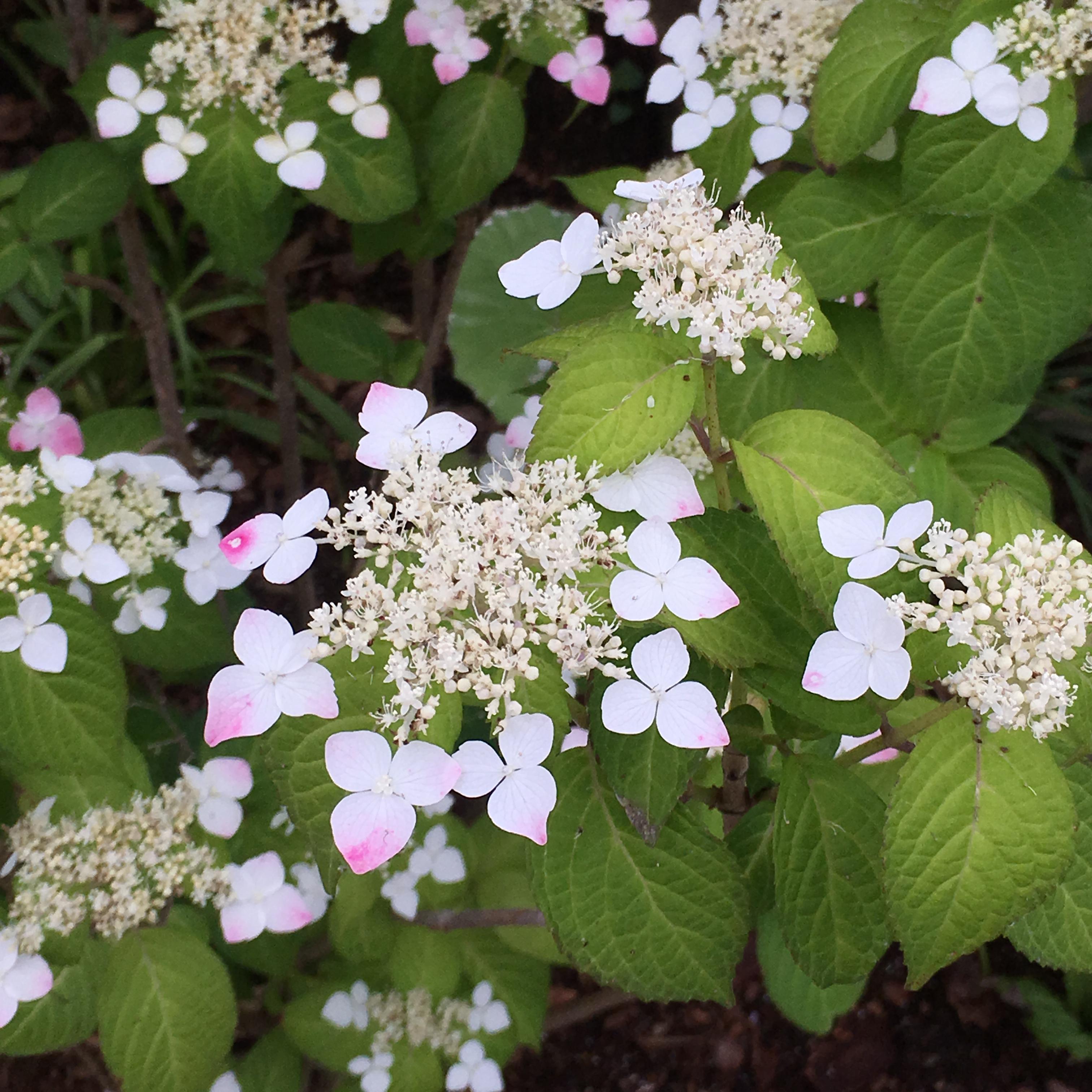 ヤマアジサイ(Hydrangea serrata var. serrata)